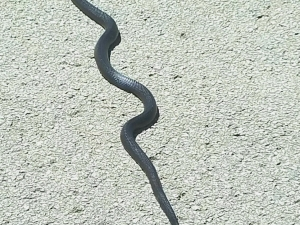 We never know what kind of critters we'll find under a house. This is a black snake. Actually, a black snake is a good thing to have around. They eat mice and other snakes. It was released unharmed!